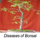 grow bonsai tree